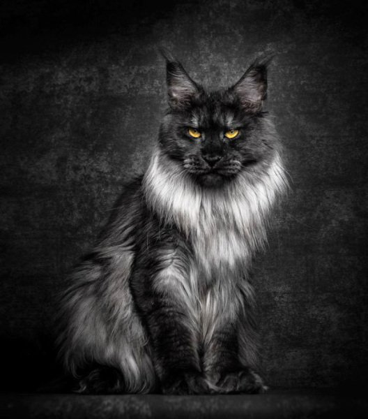 Arkansas Maine Coon Cats and Kittens